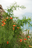 Poppies flowering on the mountain slope. Royalty Free Stock Image