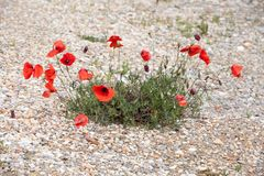 Poppies flowering on stone path royalty free stock photo
