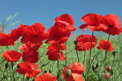 Poppies Flowers Royalty Free Stock Photo