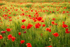 Poppies flowers. Field full of poppies flowers Stock Photos