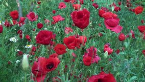 Poppies Flowers Background. This is a beautiful natural video of Poppies Flowers Background Video HD...Really nice natural video with bright colours, pleasure stock footage