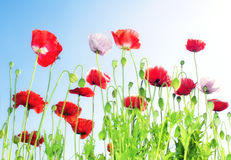 Poppies flowers and blue sky Stock Images