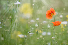 Poppies flowers with blurred background Royalty Free Stock Images