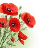 Poppies flowers border Stock Images