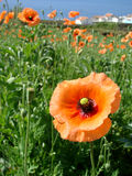 Poppies flowers field. With sea and houses in the horizon Royalty Free Stock Photos