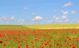 Poppies flowers field. Blue sky with clouds stock photos