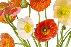 Poppies Flowers Floral. Poppies on a white background royalty free stock photography