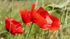 Poppies flowers stock video