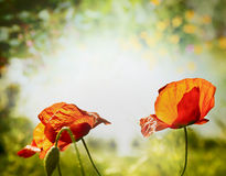 Poppies flowers on hot weather nature background Stock Photos