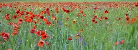 Poppies flowers. Landscape background ecology stock image