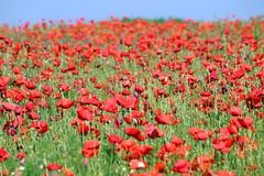 Poppies flowers meadow in spring stock image