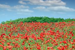 Poppies flowers in spring meadow stock images