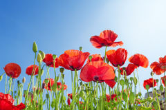 Poppies flowers. On summer field Royalty Free Stock Photos