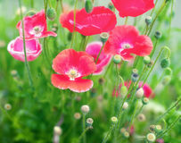Poppies flowers Royalty Free Stock Images