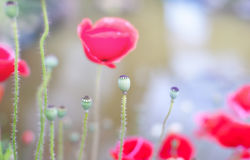 Poppies flowers Royalty Free Stock Image