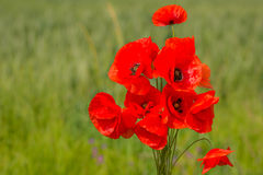 Poppies flowers Stock Images