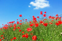 Poppies flowers. Wild red summer poppies flowers in wheat field stock photos