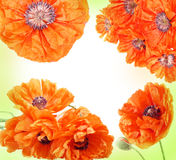 Poppies frame Royalty Free Stock Images