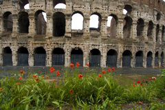 Poppies in front of Colliseum. Poppies after rain in front of Colliseum Stock Images