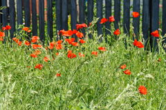 Poppies in front of a fence Stock Photos