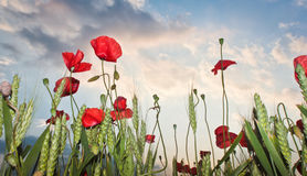 Poppies front of the storm Stock Photography