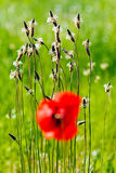 poppies in front of the wild grass Royalty Free Stock Photos
