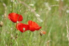 Poppies in full blossom Stock Photography