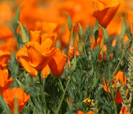 Poppies Galore. Brilliant colors of spring poppies Stock Photography