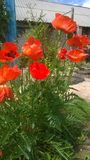 Poppies garden  red beautiful flowers. Red beautiful flowers garden  poppies Royalty Free Stock Photo
