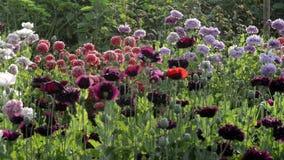 Poppies in garden stock video