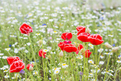 Poppies. In the garden of  Stoke on Trent Royalty Free Stock Photos