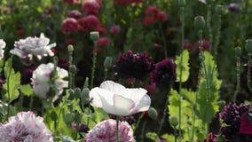 Poppies in garden stock video footage