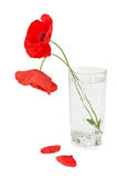Poppies in a glass Royalty Free Stock Image