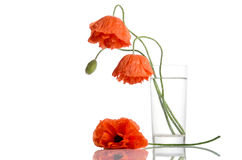 Poppies in glass vase Stock Photo