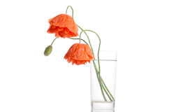 Poppies in glass vase Stock Images