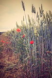 Poppies in the grain Stock Photos