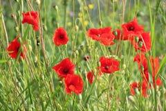 Poppies in the grass along the road in Nieuwerkerk aan den IJssel , the Netherlands.  royalty free stock images