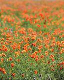 Poppies and grass Royalty Free Stock Image