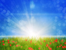 Sunny poppy field. Poppies on grass field in sun rays, spring background Royalty Free Stock Images