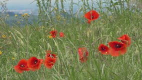 Poppies and grass moving in the breeze. stock video footage