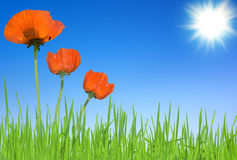Poppies and grass with sky Royalty Free Stock Photo