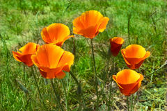 Poppies. With a green back drop Royalty Free Stock Images