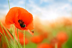 Poppies on green field Royalty Free Stock Photography