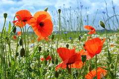 Poppies on green field Stock Image