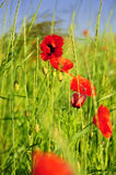 Red wild poppies in a green field. Poppy field in East Europe in the summer time Royalty Free Stock Image