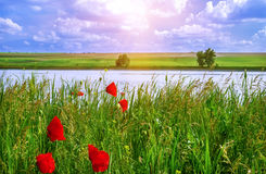 Poppies on green field background, blue clouds in sunrise Royalty Free Stock Photos