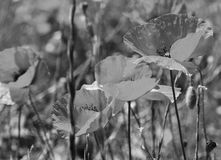 Poppies on a green field. In black and white toned. Retro style Stock Image