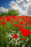 Poppies on green field with blue sky Stock Image