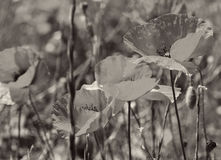 Poppies on a green field. In Sepia toned. Retro style Stock Photography