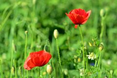 Poppies on green field in sunny day Stock Image